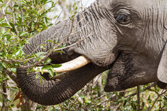 Feeding Elephant. Close-up of an elephant foraging on trees in Kruger National Park, South Africa Royalty Free Stock Photography