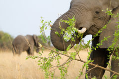 Feeding elephant cow Stock Image