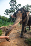 Feeding an elephant Stock Photo