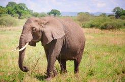 Feeding Elephant Stock Photos