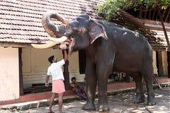 Mahout Feeding Indian Elephant Stock Photo