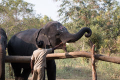 Feeding the Elephant. A zoo keeper feeding the Elephant in Tamilnadu India Royalty Free Stock Images