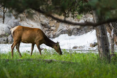 Feeding elk in yellowstone Stock Photography