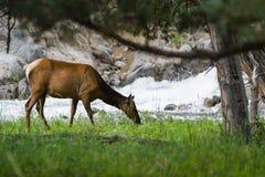 Feeding elk in yellowstone stock photography