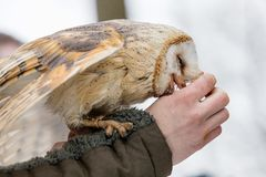 Eurasian Tawny Owl, Strix aluco, is fed from the hand of the falconer in the woods in the winter. Eurasian Tawny Owl flies her mea. Feeding the Eurasian Tawny Stock Photography