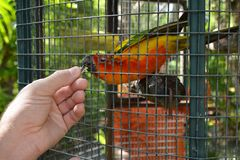 Feeding an exotic colored parrot with hands through the bird cage. Orange parrot eats sunflower seed from the hand of a man stock photo