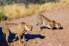 Feeding a family of cheetahs Stock Photography