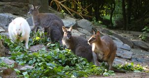 Feeding family of cute kangaroo Red necked Wallaby stock video