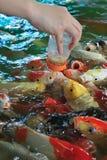 Feeding fancy carp fish Royalty Free Stock Photos