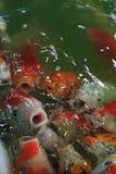 Feeding fancy carp fish Royalty Free Stock Photo