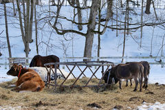 Feeding Farm Animals in Winter Royalty Free Stock Image