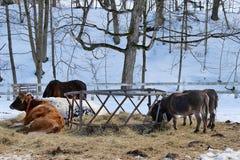 Feeding Farm Animals in Winter Royalty Free Stock Image