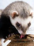 Feeding ferret Stock Photo