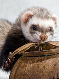 Feeding ferrets Royalty Free Stock Photos