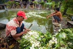 Feeding fish. LAKE BATUR, BALI - JANUARY 21. Men cutting cauliflower to feed fish on Lake Batur on January 21, 2012 in Bali, Indonesia. Locals use home produce Royalty Free Stock Image