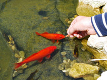 Feeding fish. Childs hand feeding goldfishes in the pond stock photography