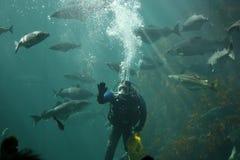 Feeding fish. A diver feeding fish in an aquarium Royalty Free Stock Images