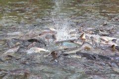 Feeding fish in Bangkok river