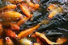 Feeding fish carp Royalty Free Stock Photo