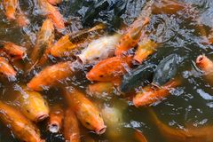 Feeding fish carp Royalty Free Stock Photos