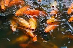 Feeding fish carp Royalty Free Stock Photography