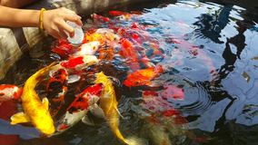 Feeding fish food to colorful koi in the pond Stock Photo