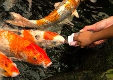 Feeding fish Stock Images