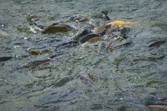 Feeding Fish Frenzy. A large bunch of fish in a feeding frenzy stock images