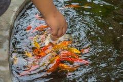 Feeding fish Royalty Free Stock Photo