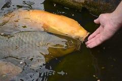 Feeding fish. Feeding large Koi carp fish Royalty Free Stock Photography