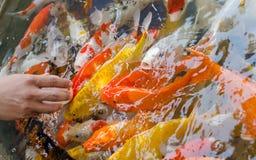 Feeding of fish Stock Photography