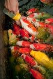 Feeding fish with nursing bottle Royalty Free Stock Image