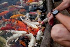 Feeding fish Stock Photography