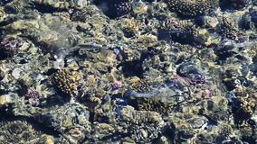Feeding the fish in the red sea. colorful fish swim near corals stock footage