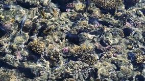 Feeding the fish in the red sea. colorful fish swim near corals stock video