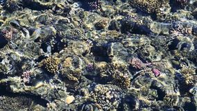 Feeding the fish in the red sea. colorful fish swim near corals stock video footage