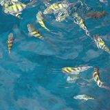 Feeding fish square. A school Sergeant major fish in a feeding frenzy all pooling at the surface near castries in st Lucia in the West Indies easter caribbean st stock photography