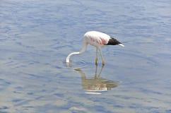 Feeding Flamingo Stock Photo