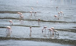 Feeding Flamingo. Migration Red flamingo birds feed in marsh land around Mumbai port swamp land. Every year thousands birds fly in marshy land in and around Stock Photo