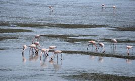 Feeding Flamingo. Migration Red flamingo birds feed in marsh land around Mumbai port swamp land. Every year thousands birds fly in marshy land in and around Stock Image