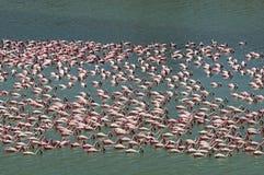 Feeding flamingo pack Stock Images