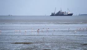 Feeding Flamingo in ship background. Migration Red flamingo birds feed in marsh land around Mumbai port swamp land. Every year thousands birds fly in marshy land Stock Photos