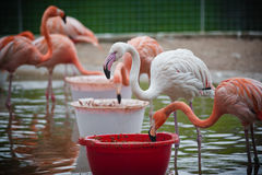 Feeding flamingos Stock Images