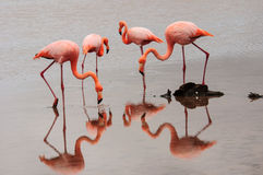 Feeding Flamingos Royalty Free Stock Images