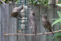 Feeding fledgling starlings Stock Image