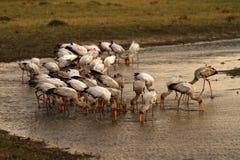 Feeding Flock Of Spoonbills Royalty Free Stock Photography