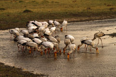 Feeding Flock of Spoonbills Royalty Free Stock Photography