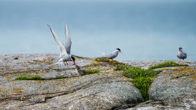Feeding flying. Arctic Tern Sterna paradisaea feeding her fledgeling with fresh fish, still flying. The nest is in a rift on this rocket island Royalty Free Stock Photos