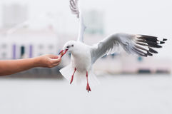 Feeding a flying Seagull Stock Photo