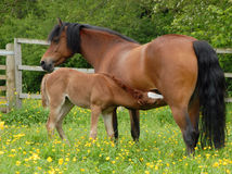 Feeding foal Stock Images